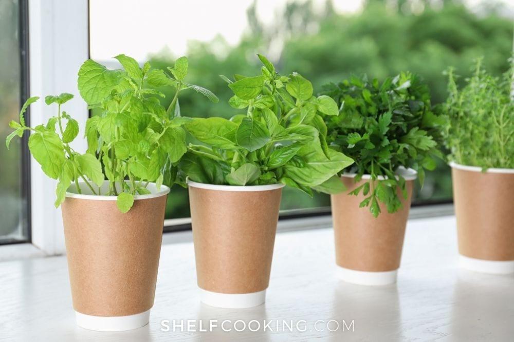 indoor paper cup garden, from Shelf Cooking